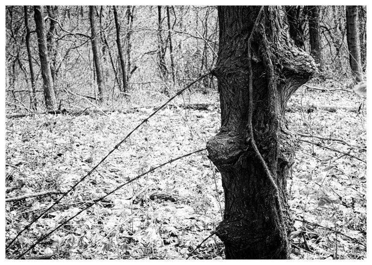 Barbed Devil's Oak Final